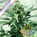 Orion-Seeds-JAck-Herer-XL-Automatic-Feminise-m.jpg