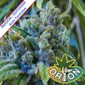 Orion-Seeds-Auto-Crystal-Medical-CBD-medyczna-marihuana-m.jpg