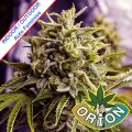 Orion-seeds-Auto-OG-Kush-California-Feminise-cannabis-m.jpg