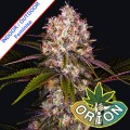 Orion-Seeds-Afghan-Fast-Version-polautomat-szybka-marihuana-m.jpg