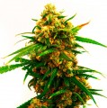 F2seeds-Strawberry-Kush-Fast-Version-feminise-szybkie-nasiona.jpg