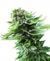 Sensi-Seeds-Northern-Lights-Automatic-amsterdam-nasiona.jpg
