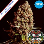 Polish Easy Skunk Fast Version Feminise