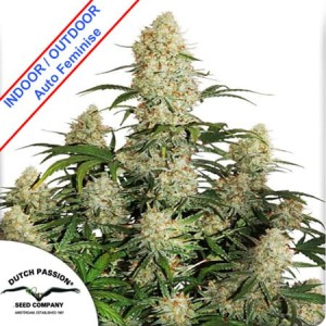 Auto Critical Orange Punch Feminise