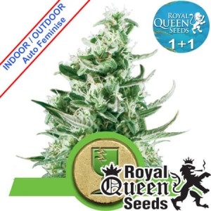 1+1 Royal Critical Auto Feminise
