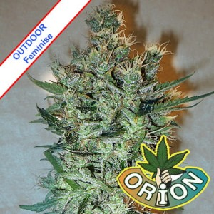 Skunk Outdoor Feminise