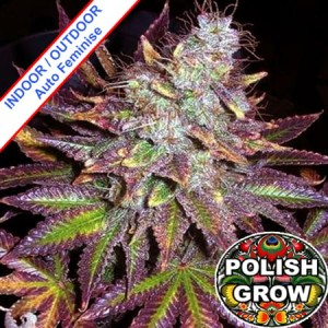 Purple Cheese Auto Feminise