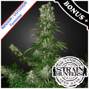 White Strawberry Skunk Feminise
