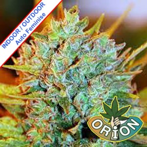 Orion Seeds - Nasiona Marihuany | Nasiona Konopi | Nasiona Cannabis - Sklep F2SEEDS