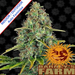 Blueberry Cheese (Blue Cheese) Auto Feminise