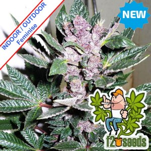 Early Purps Feminise