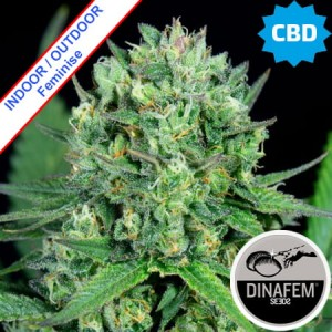 Cheese CBD Feminise