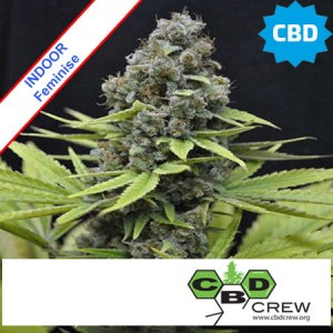 CBD Shark Shock Feminise