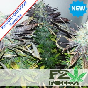 Black Domina Fast Version Feminise