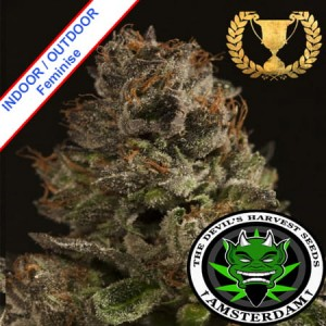 Strawberry Sour Diesel Feminise