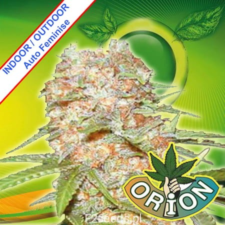 Orion-Seeds-Super-SkunkXXX-Automatic-Fem-m.jpg