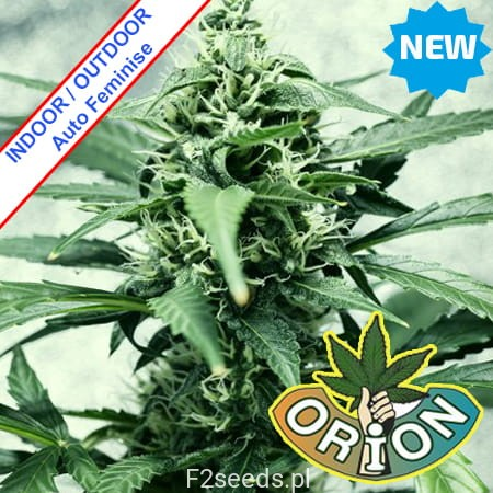 Orion-Seeds-JAck-Herer-XL-Automatic-Feminise-new.jpg