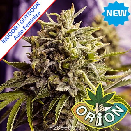 Orion-seeds-Auto-OG-Kush-California-Feminise-cannabis-new.jpg