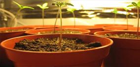 Blog DEBATA: DIODY LED VS HPS GROW LIGHTS Nasiona